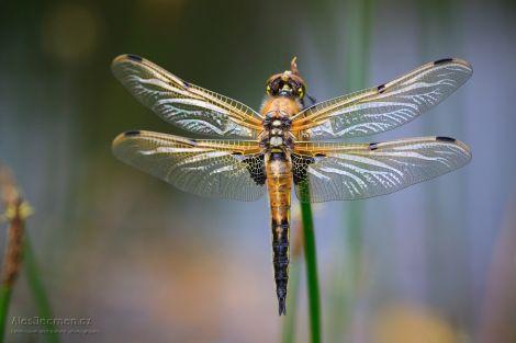 Vážky a šídla na Plachtě