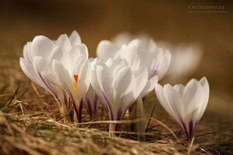 Poslové jara - Šafrán bělokvětý