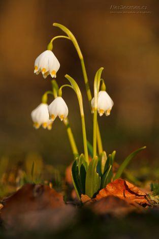 Poslové jara - Bledule jarní