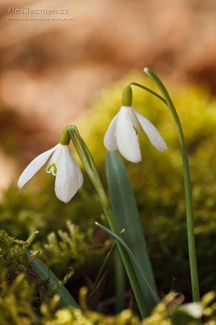 Poslové jara - Sněženka podsněžník